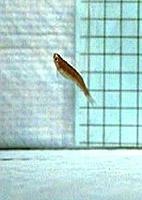 Descoberta Peixe saltador pode dar pistas sobre evolução da água ...
